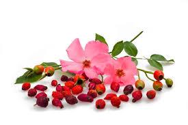 dzika roza