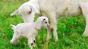 koza ze swoim dzieckiem na zielonej łące